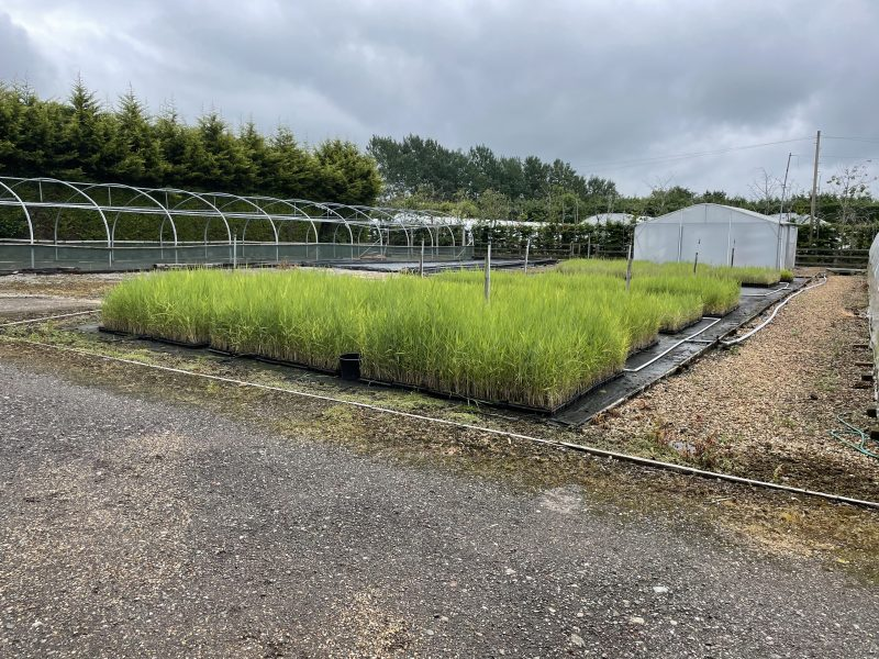 Native Wetland Plant Suppliers